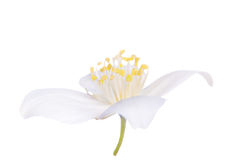 White jasmin isolated single flower Stock Images