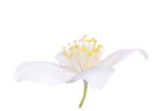 White jasmin isolated single flower Stock Images