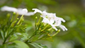 White jasmine against lovely lime green leaves, Stock Image