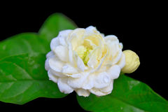 White Jasmine Flower Royalty Free Stock Photos