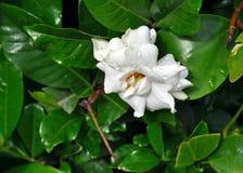 White Jasmine Flower Stock Photos