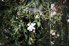 White jasmine flower. With two red buds in Mallorca, Balearic islands, Spain in January Royalty Free Stock Photography