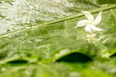 White jasmine flower with water dew on petals on wet green leaves background. For fresh, happiness, and pleasure feeling concept. Free space for your text and Stock Photo