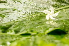 White jasmine flower with water dew on petals on wet green leaves background. For fresh, happiness, and pleasure feeling concept. Free space for your text and Royalty Free Stock Photography
