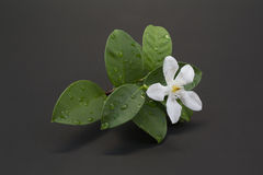White jasmine flower. And water drop Royalty Free Stock Images