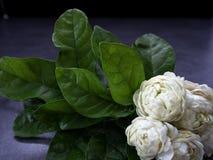 Jasmine flowers on dark background