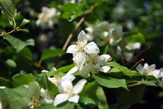 White jasmine flowers blooming on bush, green blurry background. White jasmine flowers blooming on bush, dark green blurry background stock photos
