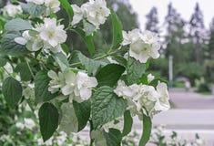 White jasmine flowers. Blossoming jasmine bush in the city garden stock images