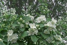 White jasmine flowers. Blossoming jasmine bush in the city garden stock image