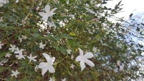 White jasmine flowers Stock Photos