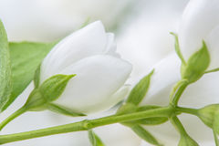 White Jasmine Flowers Close-Up Stock Photos
