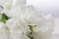 White Jasmine Flowers Close-Up with Copy Space Royalty Free Stock Image