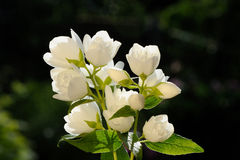 White Jasmine Flowers on Green Background Stock Photo