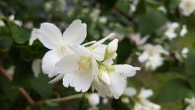 White jasmine flowers. Royalty Free Stock Photo
