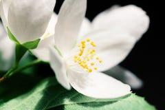 White jasmine flowers Stock Image