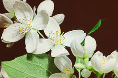 White jasmine flowers Royalty Free Stock Photo
