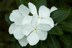 White Jasmine Flowers Royalty Free Stock Photos