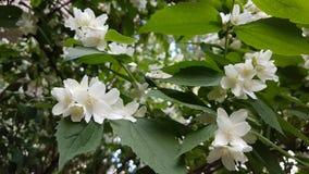 White jasmine flowers. Royalty Free Stock Images