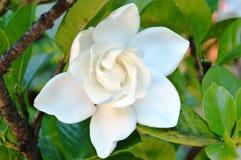 White jasmine. A white jasmine in the garden in summer Royalty Free Stock Photos