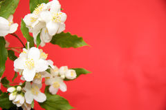 Jasmine background Royalty Free Stock Image