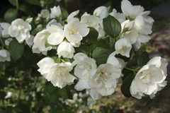 White jasmine Royalty Free Stock Image