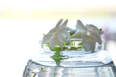 White Jasmine on water in glass bottle Stock Photography