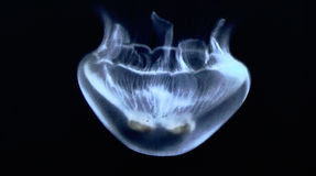 White jellyfish in the aquarium from La Rochelle t. O France Royalty Free Stock Images