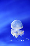 White jellyfish phyllorhiza punctata in Genoa aquarium, Italy Royalty Free Stock Photo