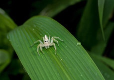White jumper spider on leaf with green background Stock Image