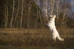 White jumping shepherd Royalty Free Stock Photos