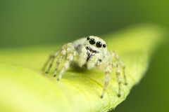 White Jumping Spider Royalty Free Stock Photo