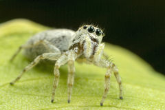 White Jumping Spider Stock Image