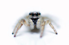 White jumping spider Royalty Free Stock Images