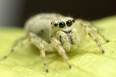 White Jumping Spiders Royalty Free Stock Photos