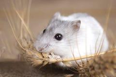 White Jungar hamster gnaws on sackcloth barley stalk Stock Images