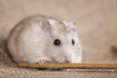 White Jungar hamster gnaws on sackcloth barley stalk Stock Image