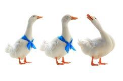 white kaczki Zdjęcie Stock
