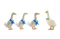 white kaczki Obrazy Royalty Free