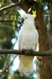 white kakadu Fotografia Stock