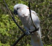 white kakadu Obrazy Royalty Free