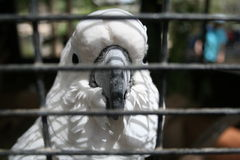 White Kakadu. A close up of a white Kakadu in a cage Royalty Free Stock Photography