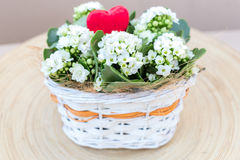 White Kalanchoe arrangement Valentines Flowers. Kalanchoe bouquet with heart in basket isolated on wooden plate Stock Image
