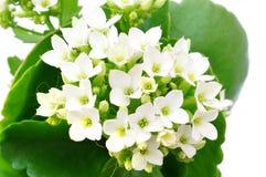 White Kalanchoe flower isolated Stock Photography