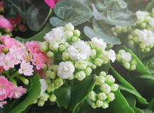 White kalanchoe flowers with pink kalanchoe on the side stock photo