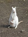 White kangaroo with cub. Cute white kangaroo mother with little cub in pouch Stock Photography