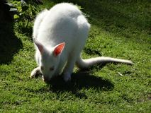 White kangaroo eating in a meadow Stock Photography