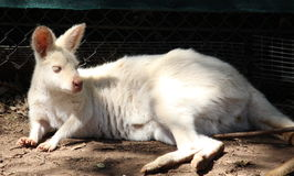 White Kangaroo Stock Photography