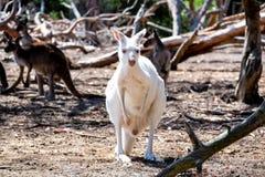 White Kangaroo puppy. With family Stock Photo