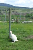 White kangaroo sitting by fence post in grass field Royalty Free Stock Images