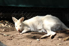 White Kangaroo Royalty Free Stock Photography